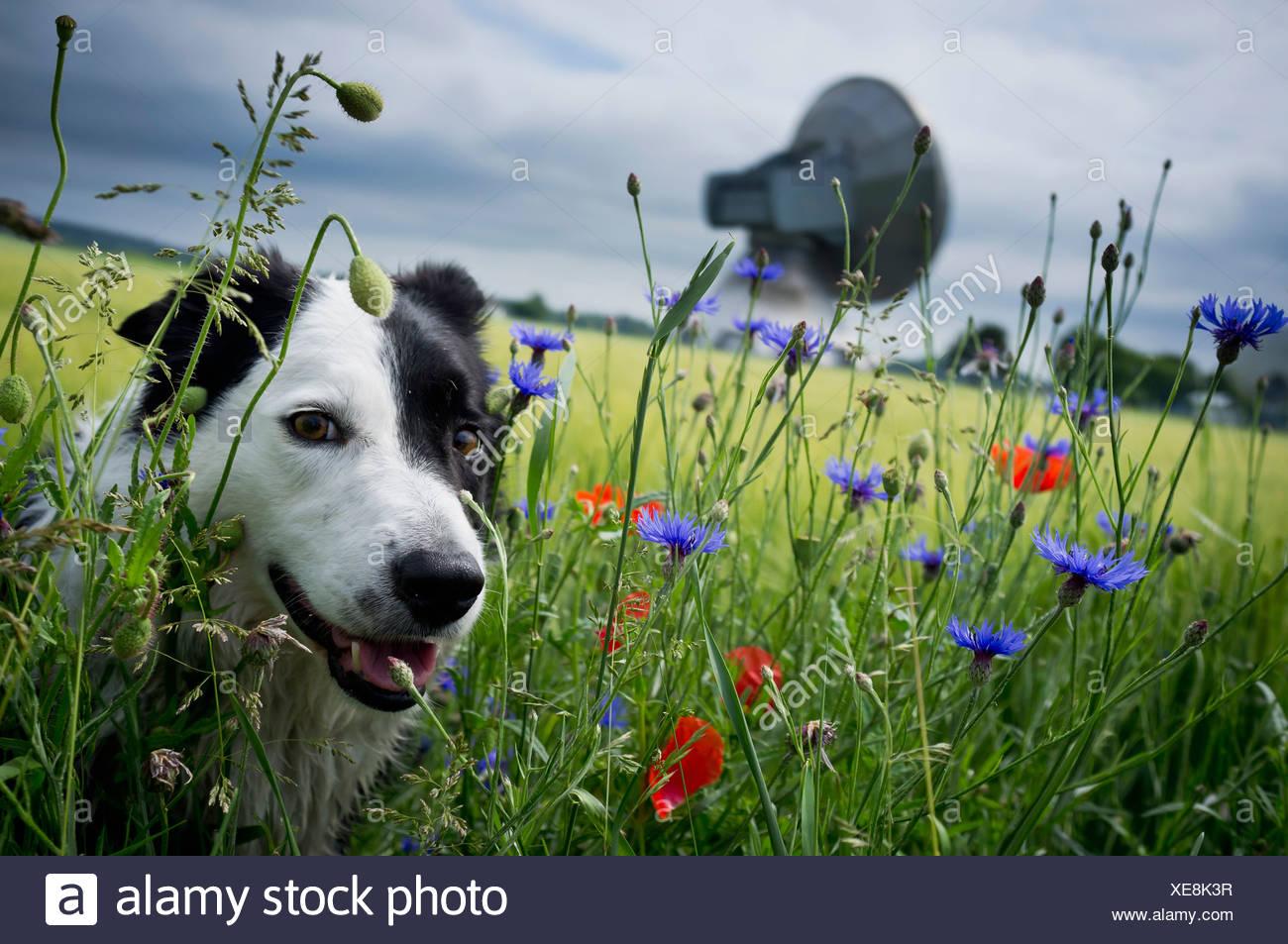 Hundewiesen in hohe Gräser Stockbild