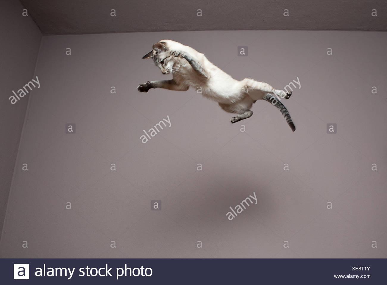 Siamesische Katze in die Luft springen Stockbild
