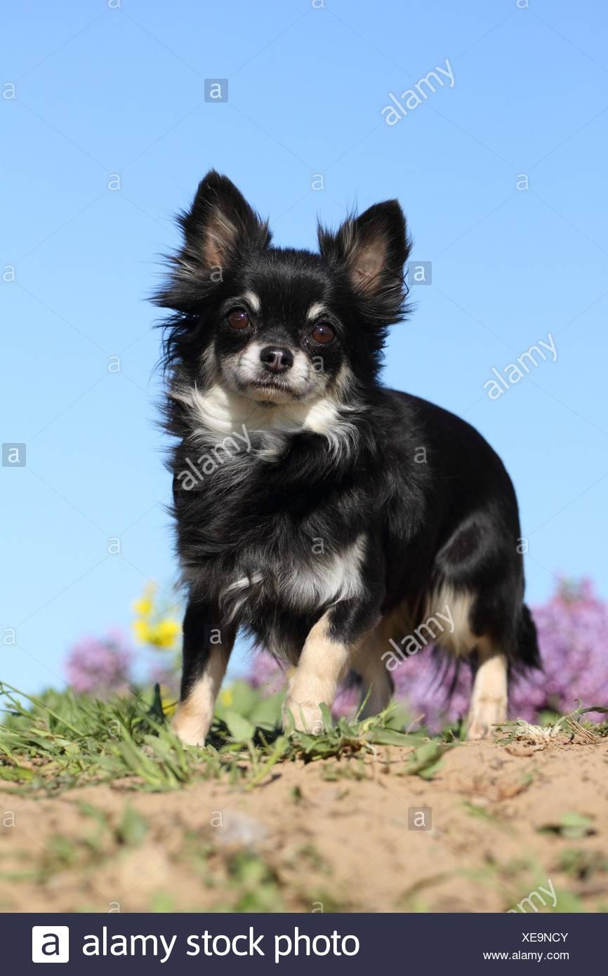 Tan Chihuahua Stockfotos Und Bilder Kaufen Seite 2 Alamy