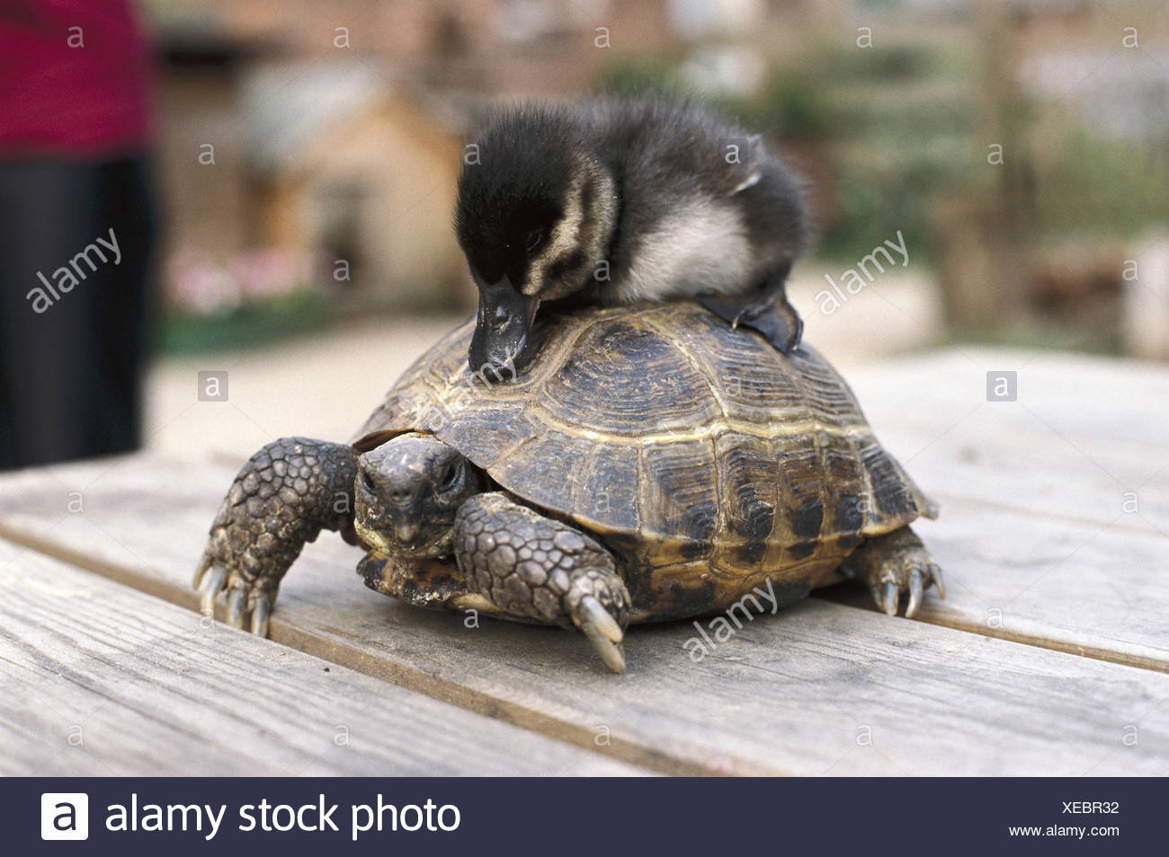 Land Schildkrote Testudo Spec Carry Entenkuken Schlaf Reptilien