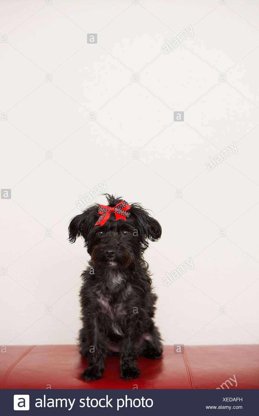 Ein Schwarzer Hund Ein Haustier Mit Einer Roten Schleife Auf Dem Kopf.  Stockbild