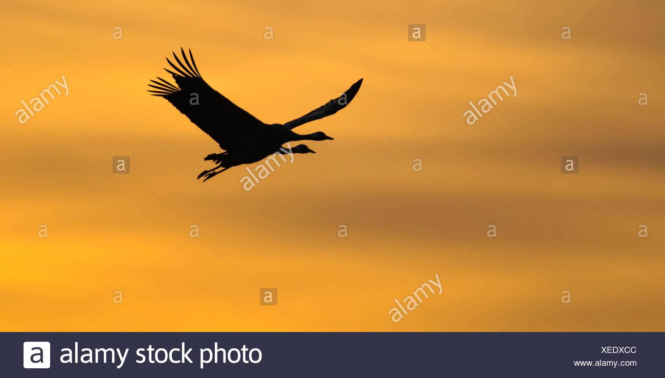Kraniche am Himmel, Grus Grus, Deutschland Stockbild