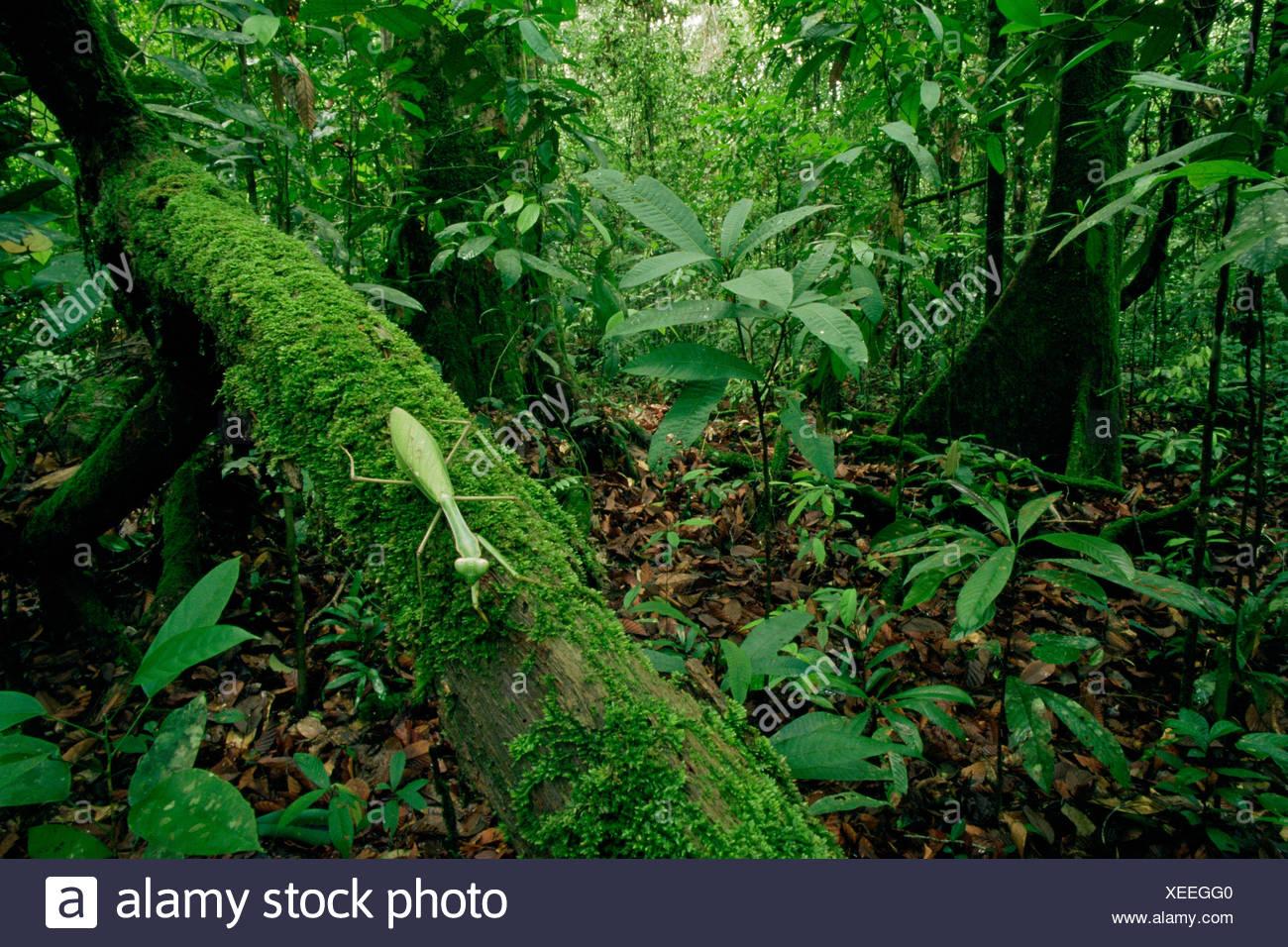 Gottesanbeterin (Mantodea) grüne mimischen Blatttyp entlang einem moosigen Zweig im Tiefland-Regenwald, Gunung Palung Nationalpark, Borneo, West Kalimantan, Indonesien Stockbild