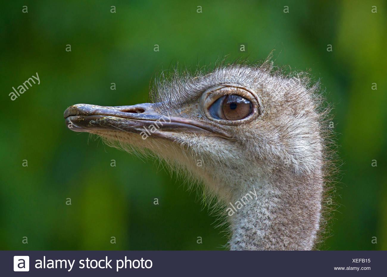 Strauß (Struthio Camelus Australis), Porträt, Deutschland Stockfoto