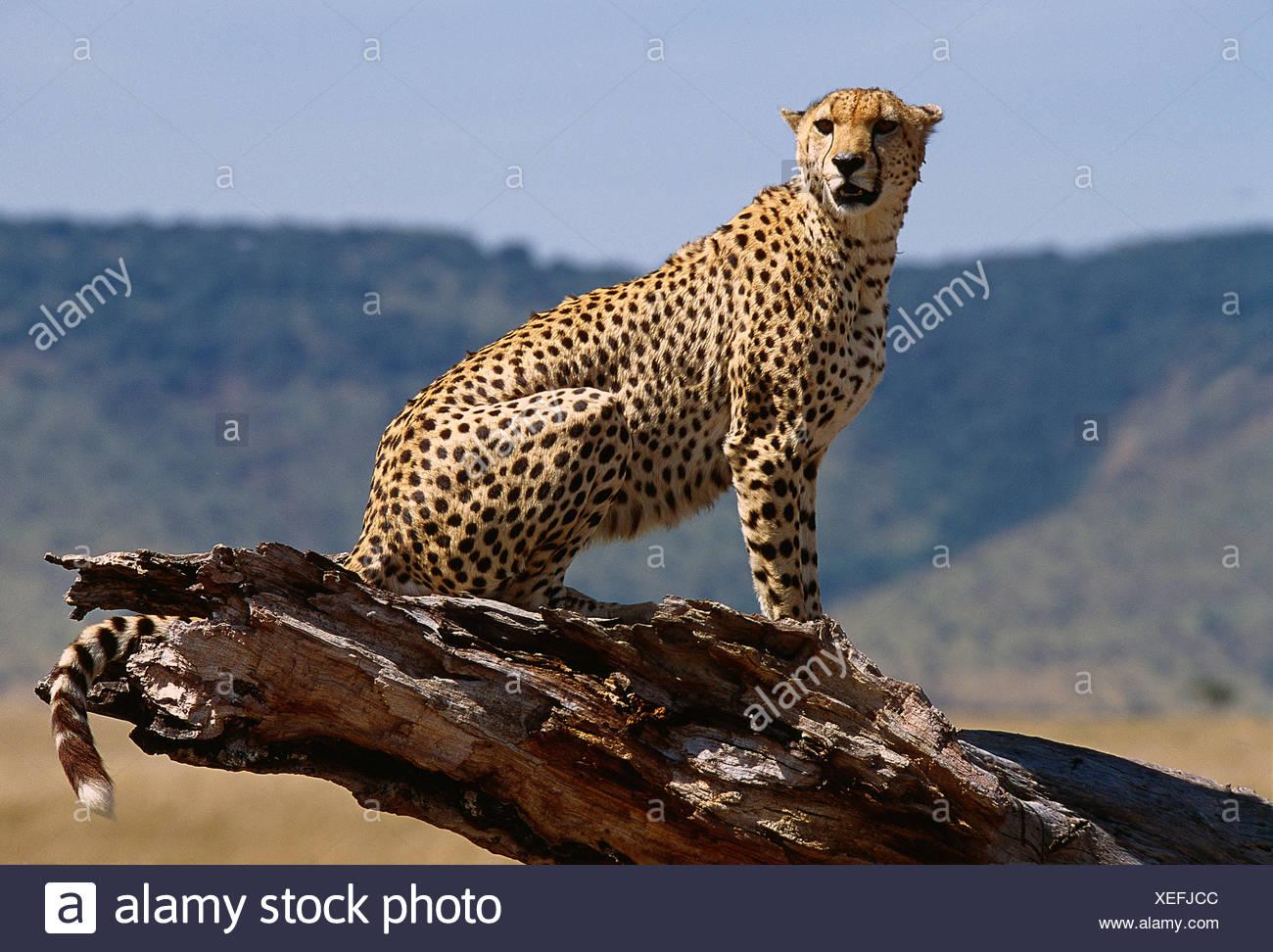 Afrika Kenia Masai Mara National Reserve. Tierwelt. Gepard. Stockbild