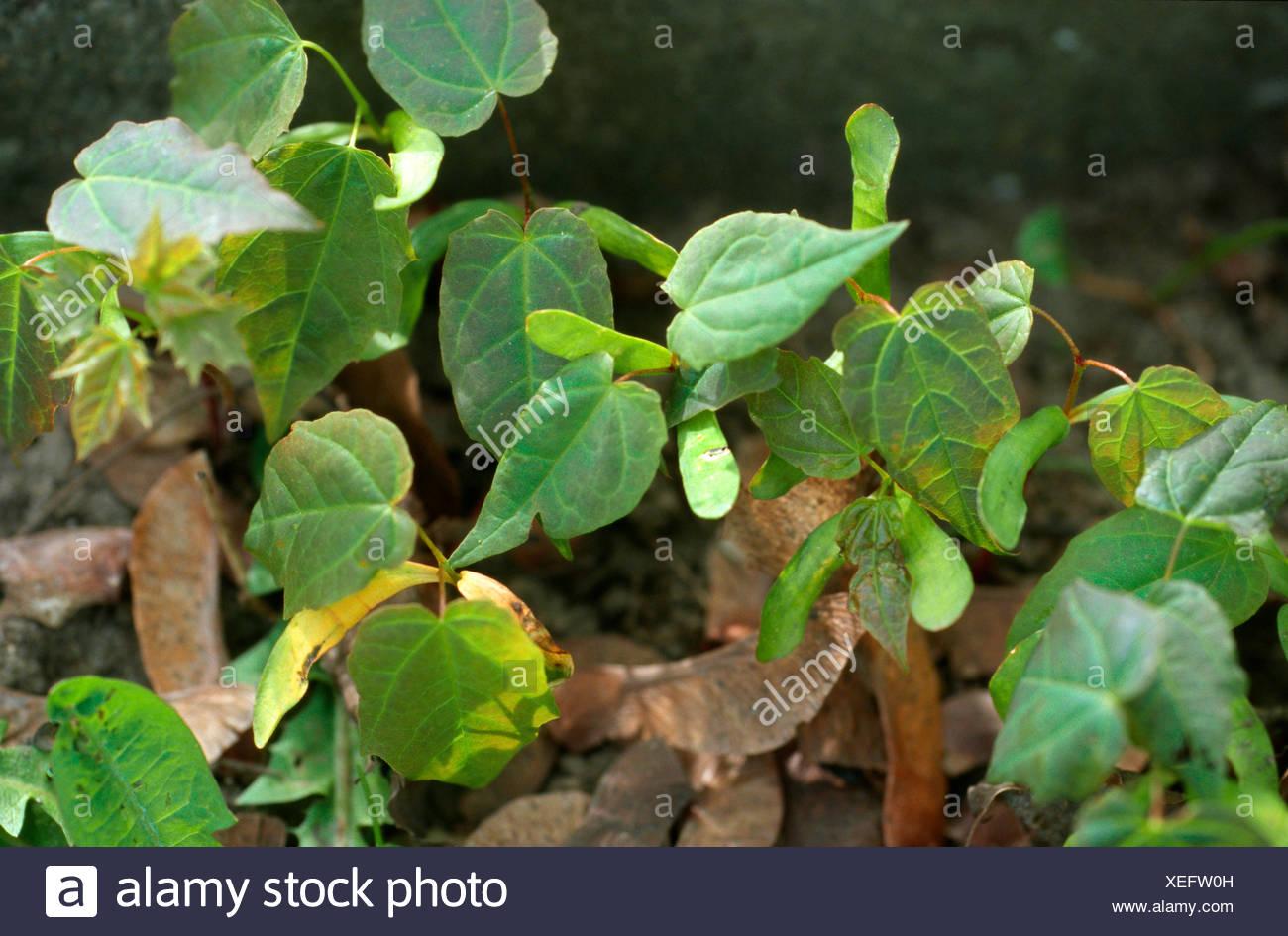 Spitz-Ahorn (Acer Platanoides), Keimlinge, Deutschland Stockfoto