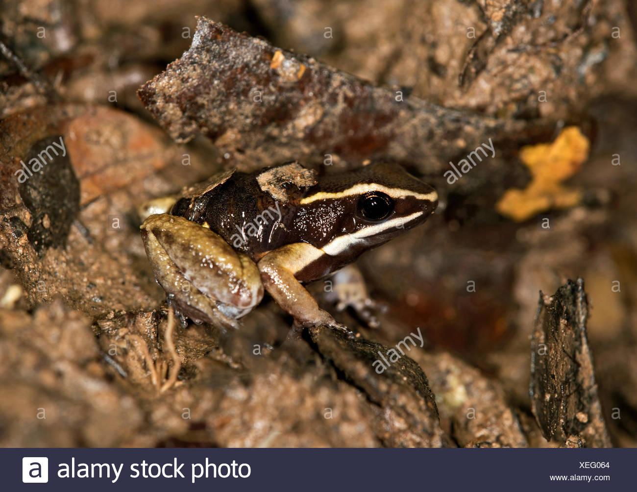 Brillant-thighed Poison Frog (Allobates Femoralis), männliche trägt seine jungen auf seinem Rücken, Tambopata Nature Reserve Stockbild
