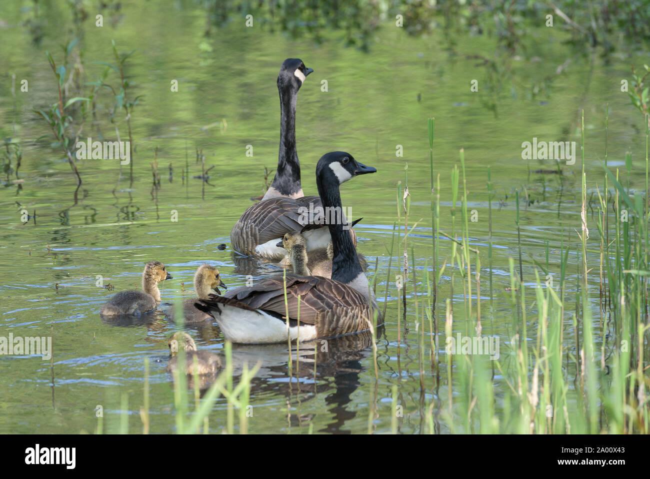 Los gansos de Canadá con goslings, Eckernfoerde, Schleswig-Holstein, Alemania (Branta canadensis) Foto de stock