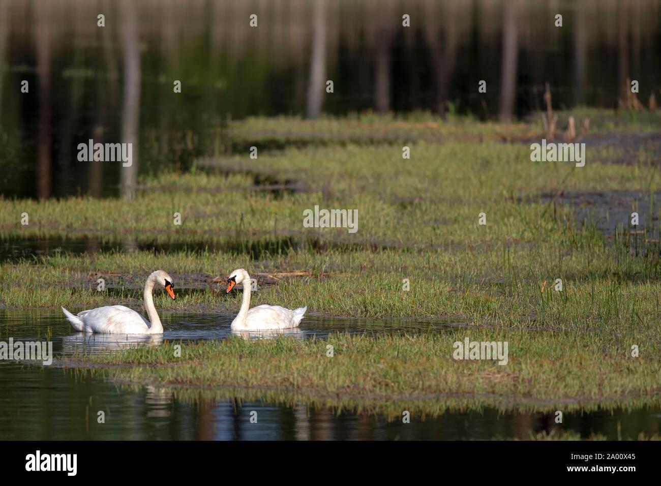 Silenciar los cisnes, Lusacia, en el Estado federado de Sajonia, Alemania (Ardea cinerea) Foto de stock