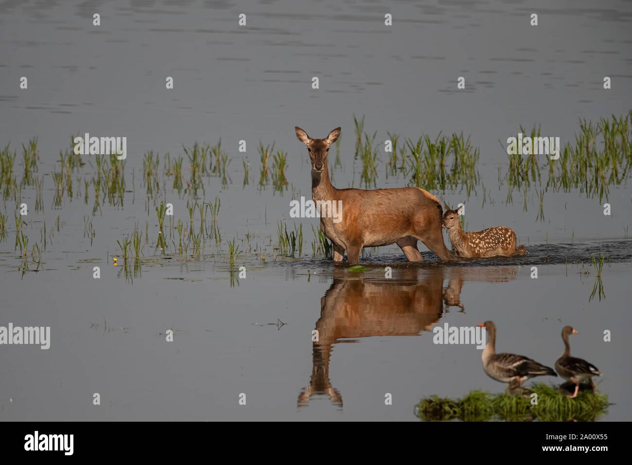 Red Deer, hind con jóvenes, Lusacia, en el Estado federado de Sajonia, Alemania (Cervus elaphus) Foto de stock