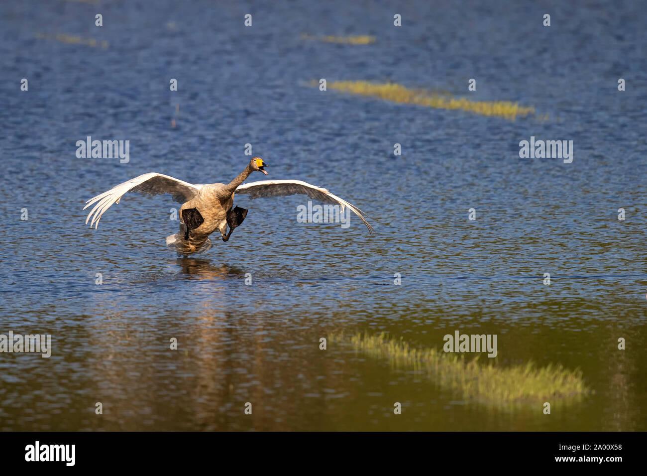 Cisnes cantores, Lusacia, en el Estado federado de Sajonia, Alemania (Cygnus cygnus) Foto de stock