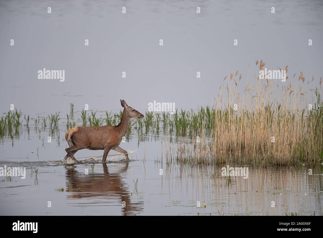 Red Deer, hind, Lusacia, en el Estado federado de Sajonia, Alemania (Cervus elaphus) Foto de stock