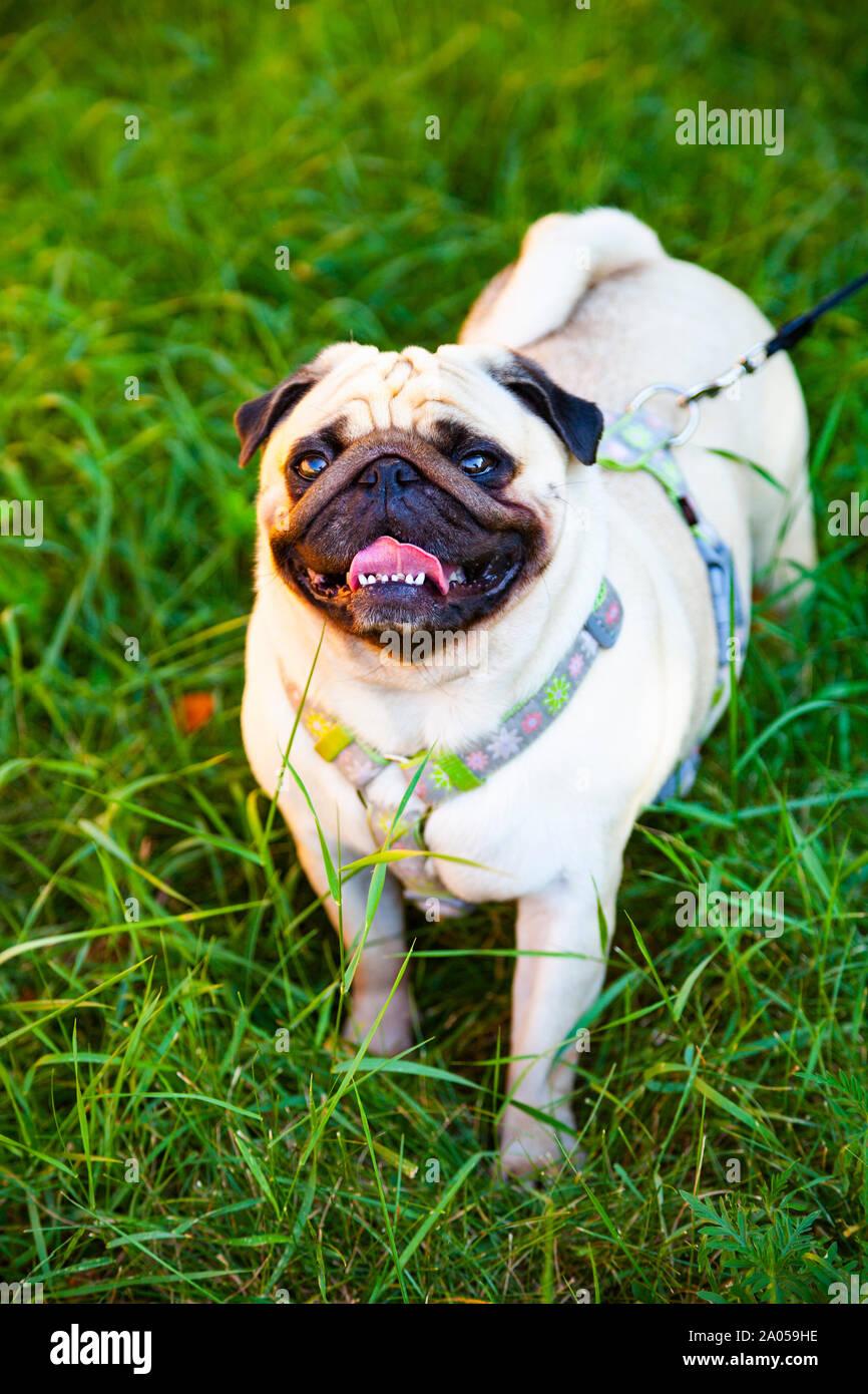 Pug camina sobre la hierba verde en un día de verano. Foto de stock