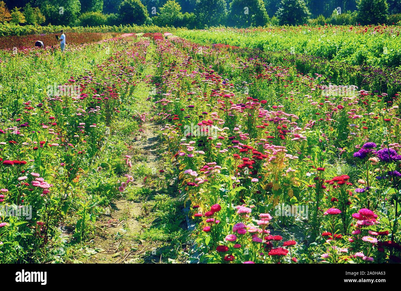 El cultivo de flores en Baviera: jardineros cortar coloridas flores aster en verano, para el mercado floral Foto de stock