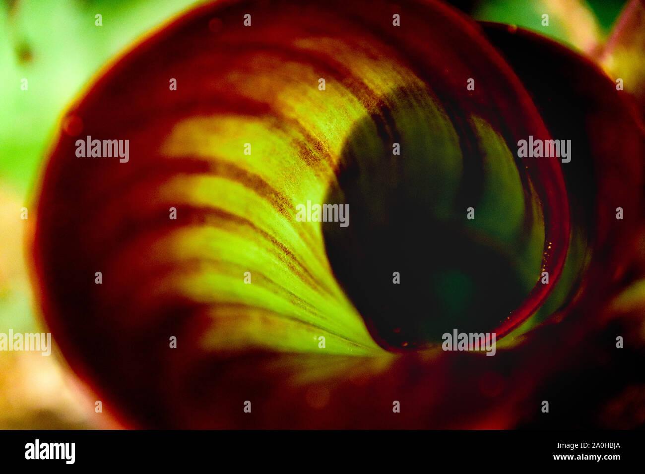 Cerca de una espiral de patrones en una de las aves del paraíso leaf ( Strelitzia) Foto de stock