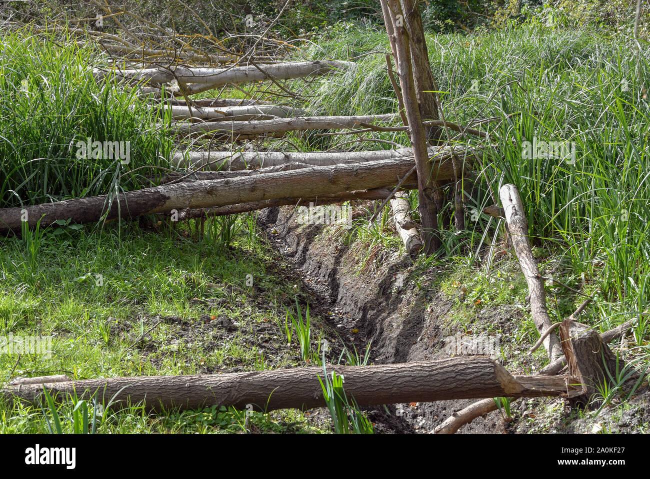 16 de septiembre de 2019, Brandenburgo, Steinhöfel: Álamos talados por castores radican en una zona pantanosa en seco. Foto: Patrick Pleul/dpa-Zentralbild/ZB Foto de stock