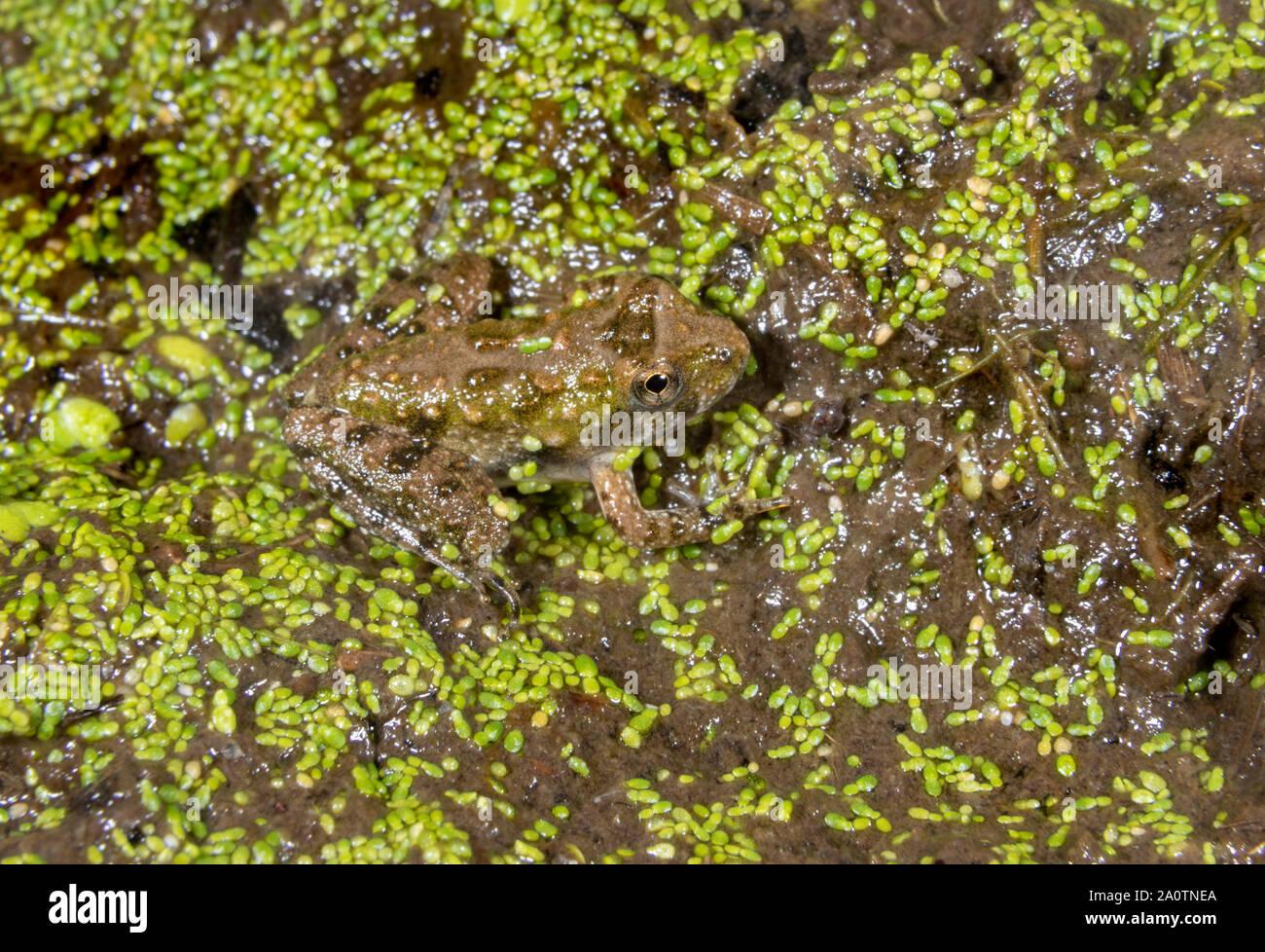 Blanchard's Cricket sapo (Acris blanchardi) camuflar al borde de bosques pantanosos, Iowa, EE.UU. Foto de stock