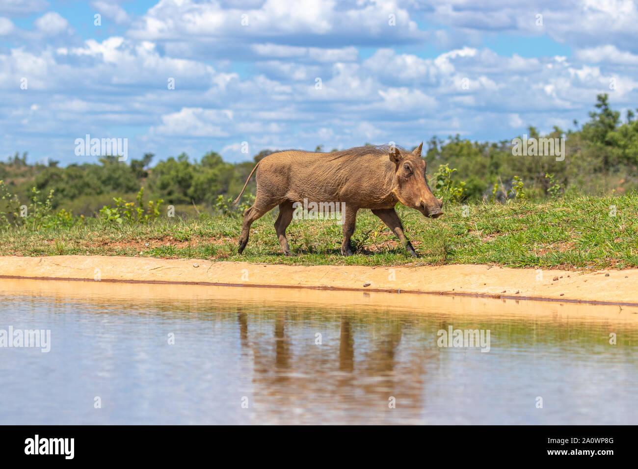 Warthog común (Phacochoerus Africanus) caminando por un waterhole, Welgevonden Game Reserve, Sudáfrica. Foto de stock