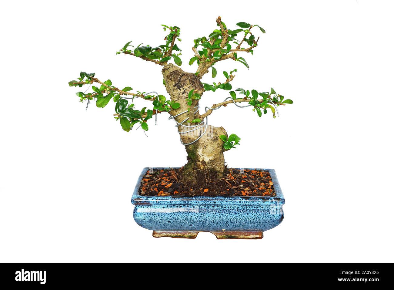 Carmona Microphylla Fotos E Imagenes De Stock Alamy