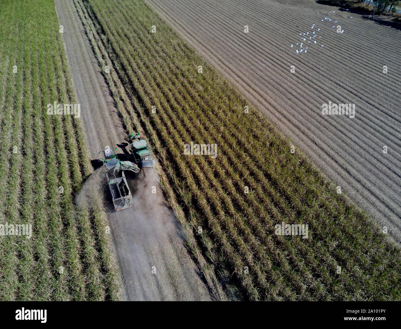 Una cosechadora de orugas la cosecha de caña de azúcar en condiciones de mucho polvo, Bundaberg Queensland Australia Foto de stock
