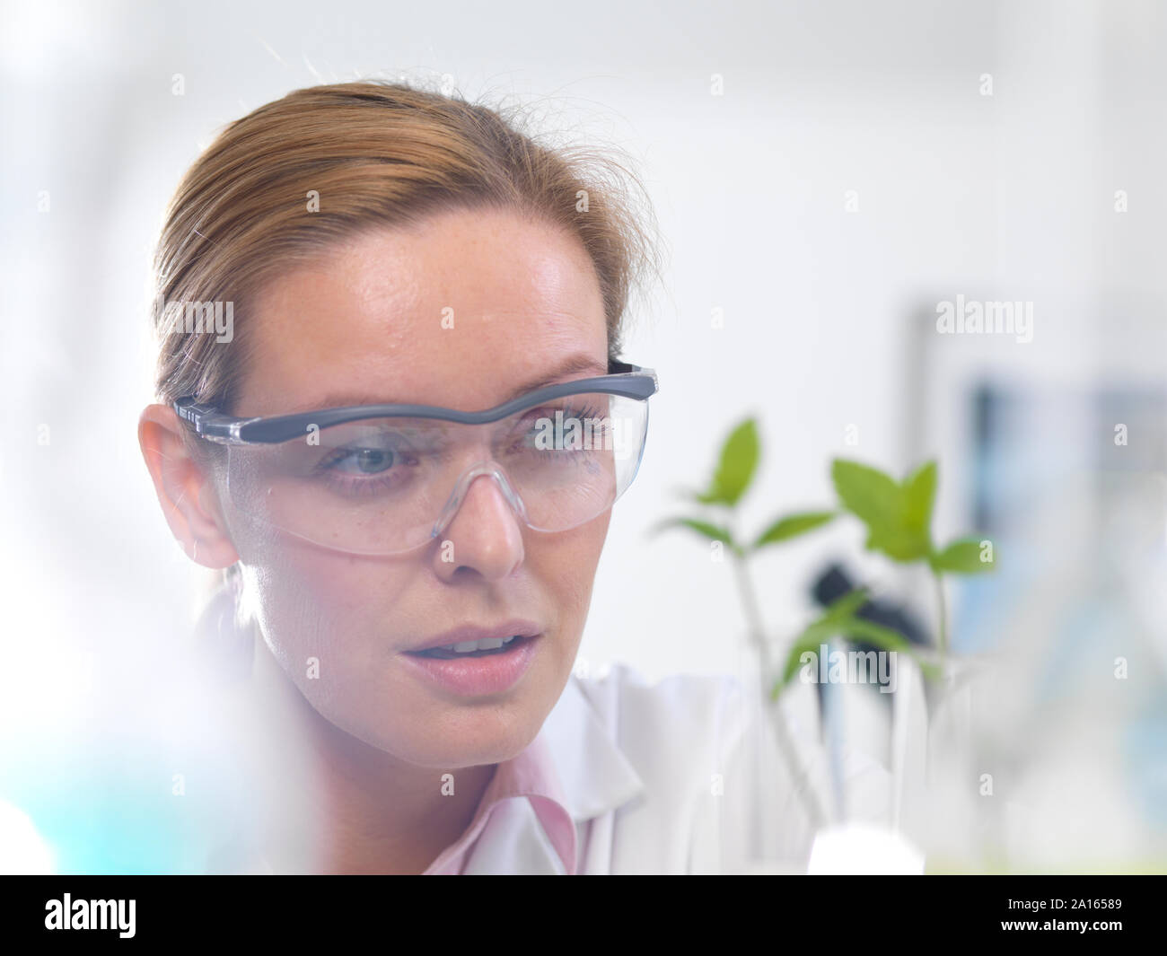 La biotecnología vegetal, el científico creciente varias cepas de planta desarrolle resistencia a enfermedades Foto de stock