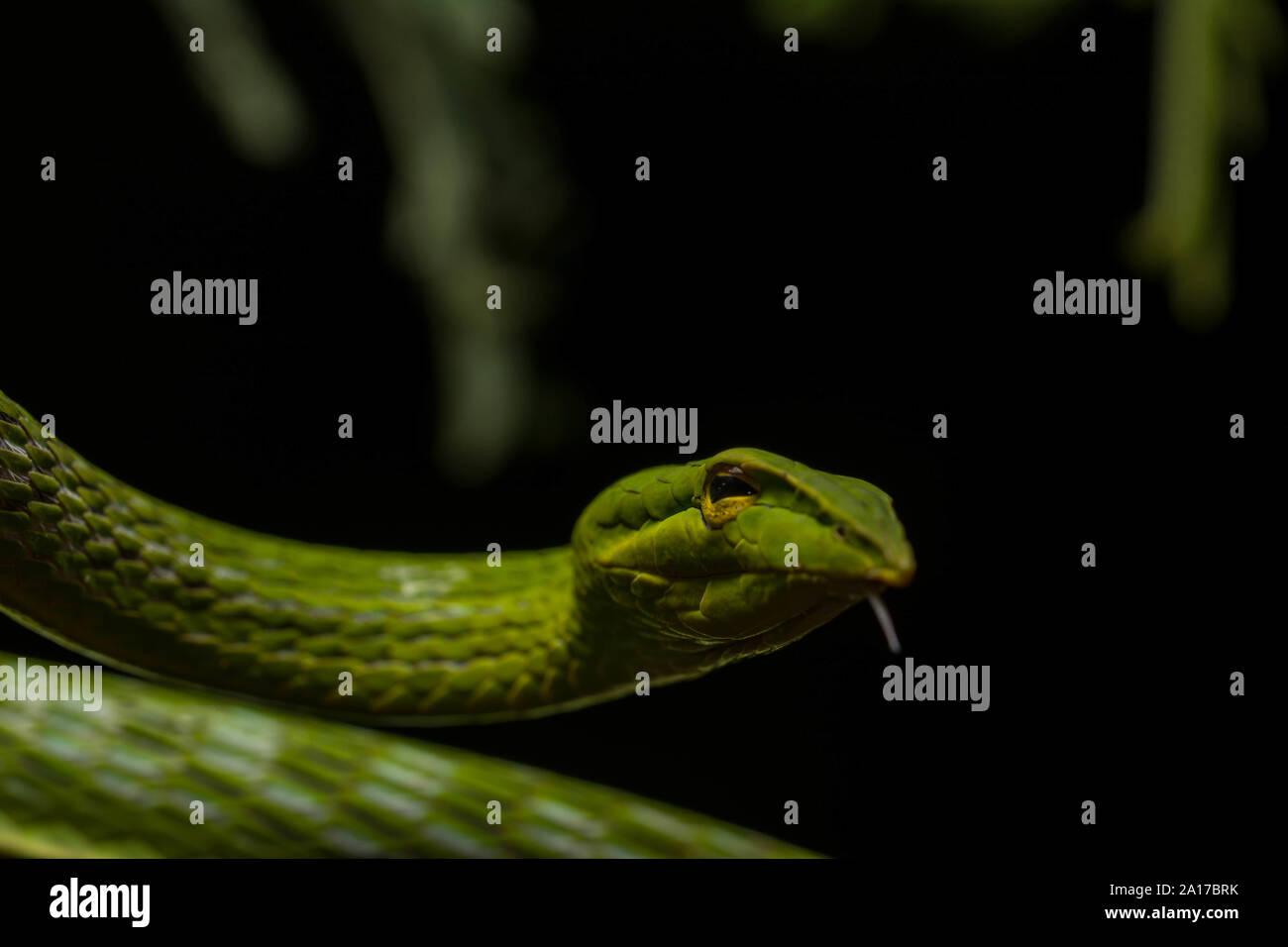 De hocico largo (Whipsnake Ahaetulla nasuta) de la provincia de Prachuap Khiri Khan, Tailandia. Foto de stock