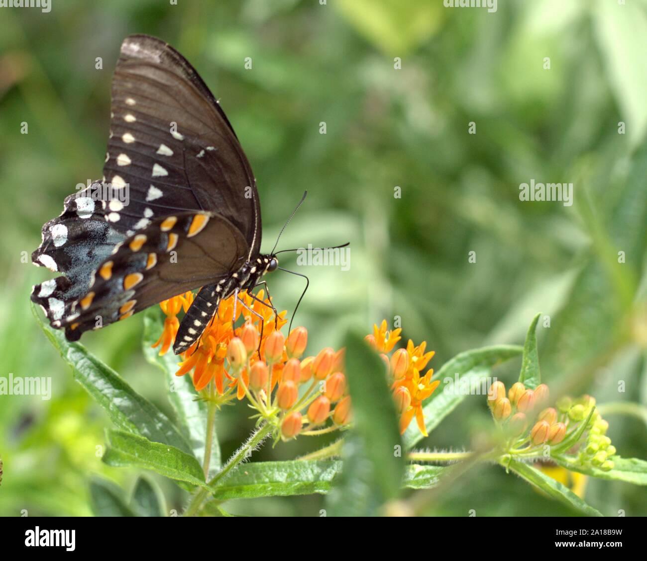 Spicebush especie sobre una flor en una parcela del jardín de mariposas. Foto de stock