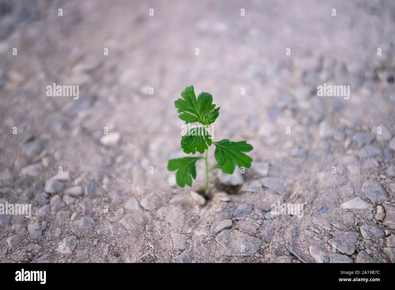 Amplio ángulo de disparo baja pequeña verde césped que crece fuera del árido seco piedras, fondo fuera de foco. La esperanza y la lucha por la vida temas conceptuales. Foto de stock