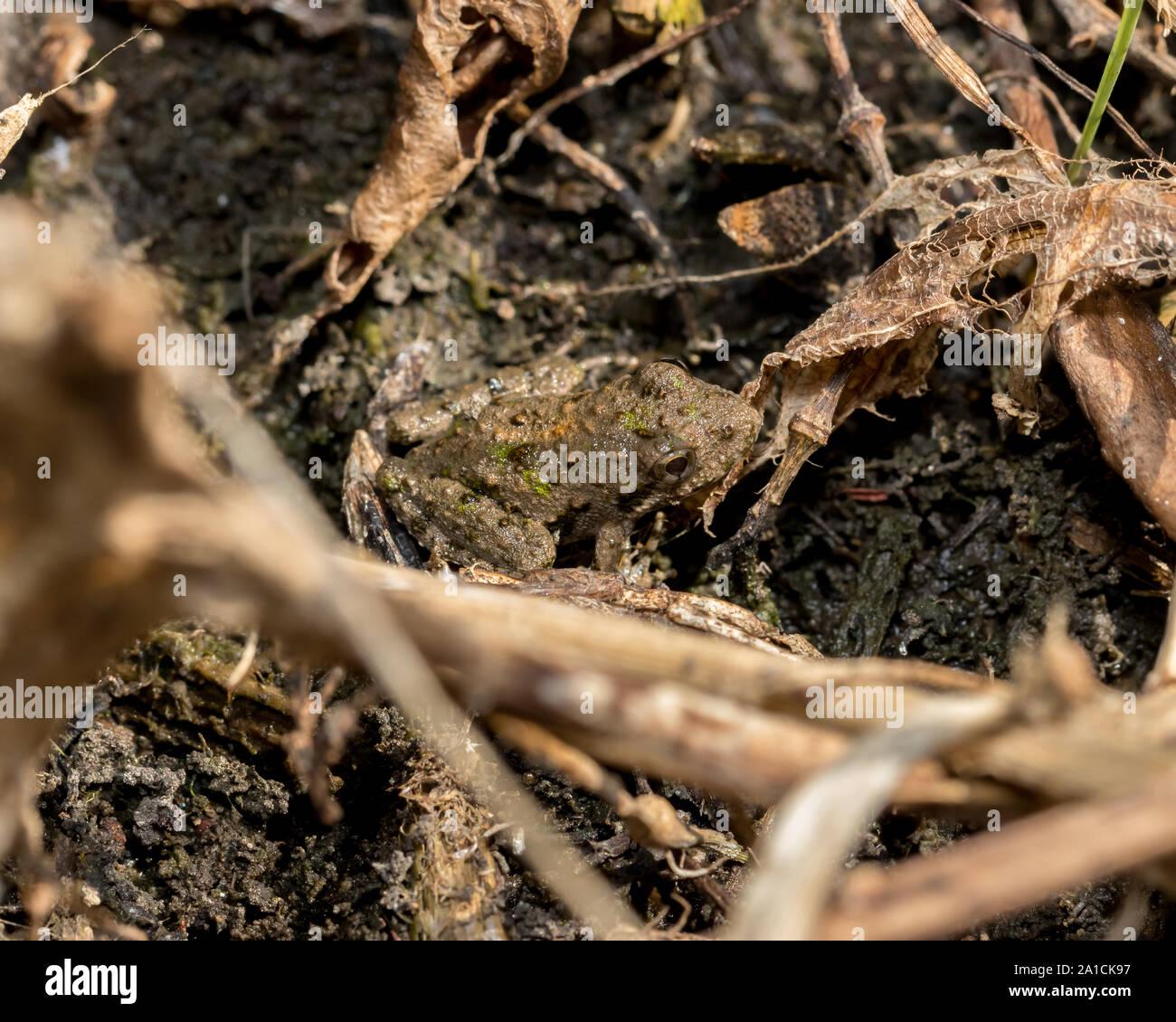 Blanchard's cricket rana, rana de árbol, de especies en su entorno natural de vegetación en la orilla de un estanque. Foto de stock