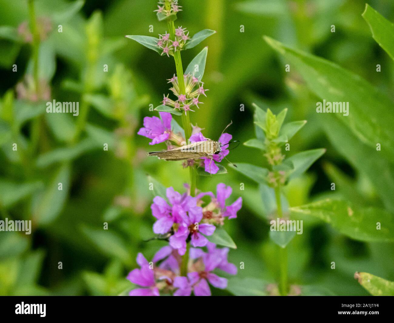 Una recta común mariposa de SWIFT, un tipo de hierba skipper especies -Parnara guttata- se alimenta de pequeñas flores moradas en un pequeño parque japonés. Foto de stock