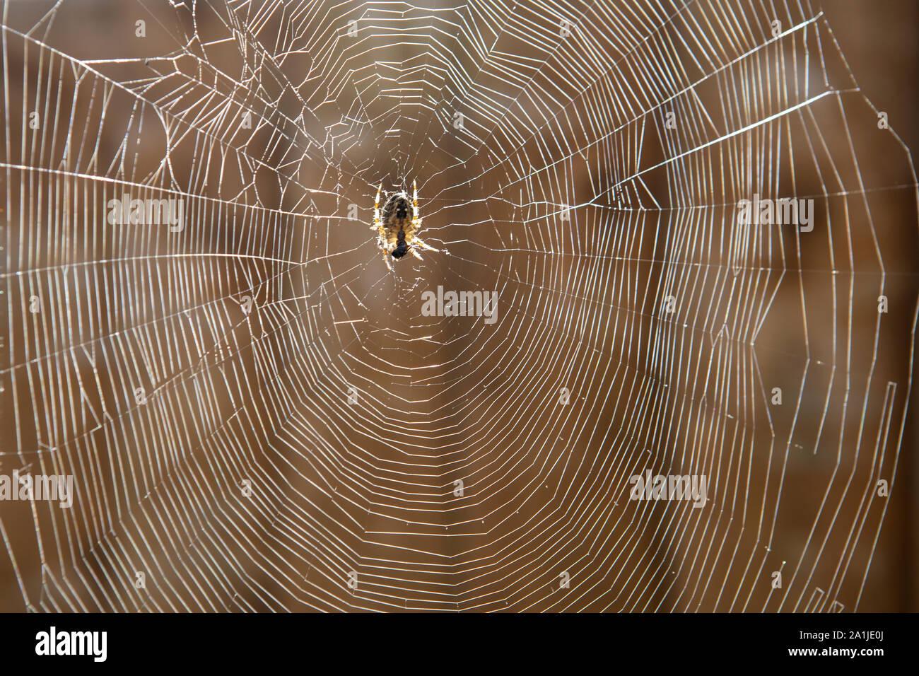 Araneus quadratus jardín tela de araña Foto de stock