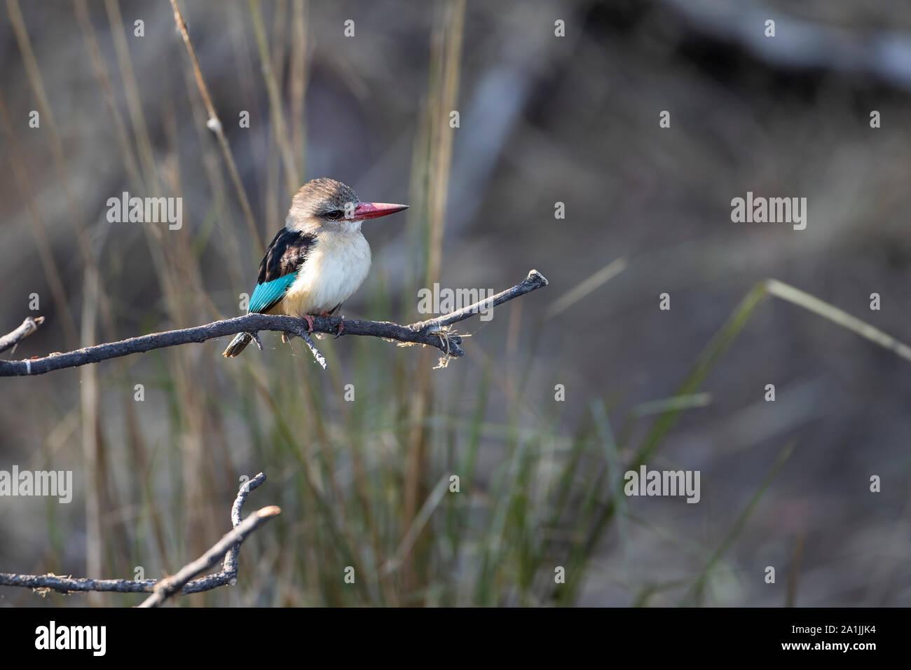 Brown encapuchado Kingfisher Halcyon albiventris donde se posan sobre un antiguo ramal a lo largo de las orillas del río Chobe en Botswana Foto de stock