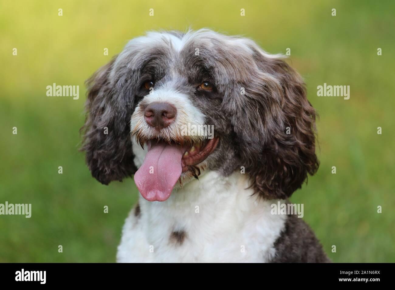 Un retrato de un marrón y blanco de Perro de Agua portugués Panting, cerca de la cabeza y los hombros fuera en otoño Foto de stock