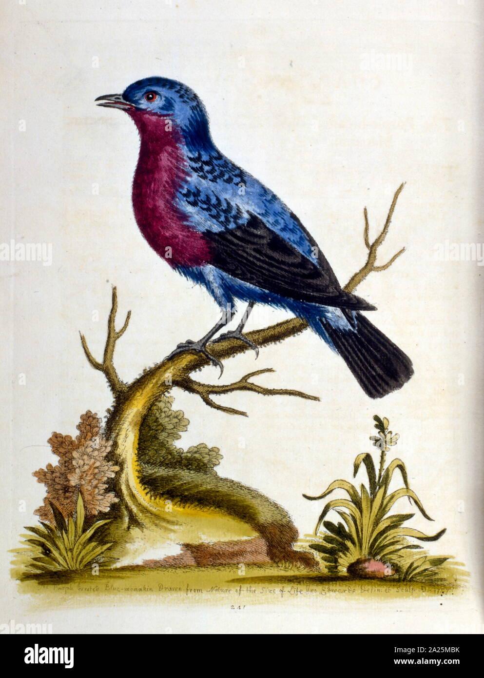 Acuarela ilustración de un libro de aves raras por G Edwards 1750. George Edwards (1694-1773) fue un naturalista británico y ornitólogo. Viajó extensamente a través de Europa, estudiando la historia natural y las aves en particular. Obtuvo cierto reconocimiento por sus dibujos coloreados, y publicó su primer trabajo en 1743 - El primer volumen de una historia natural de aves poco comunes. Foto de stock