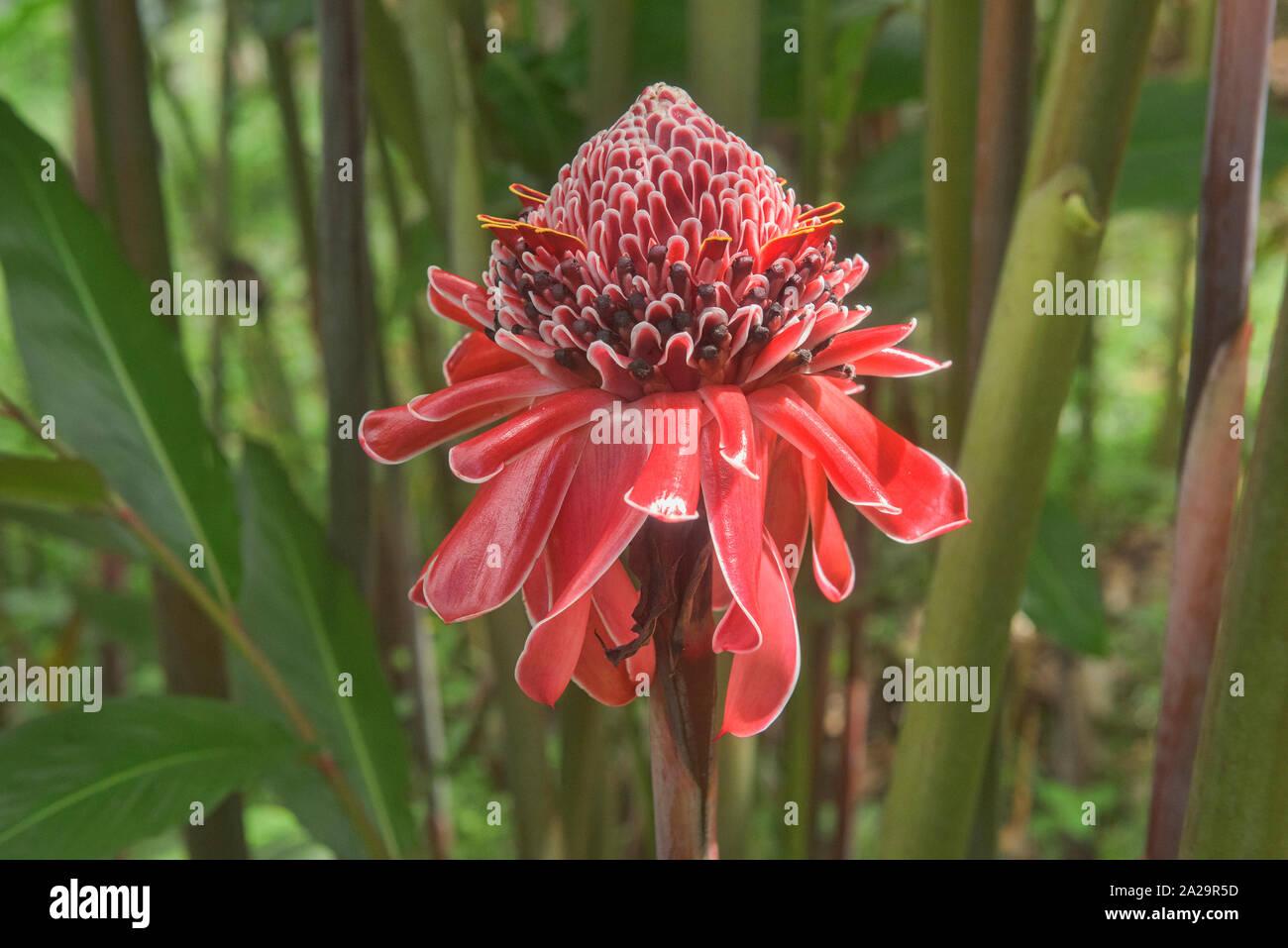 Hermoso color rojo antorcha jengibre (Etlingera elatior) Flor, Parque Nacional Podocarpus, Zamora, Ecuador Foto de stock