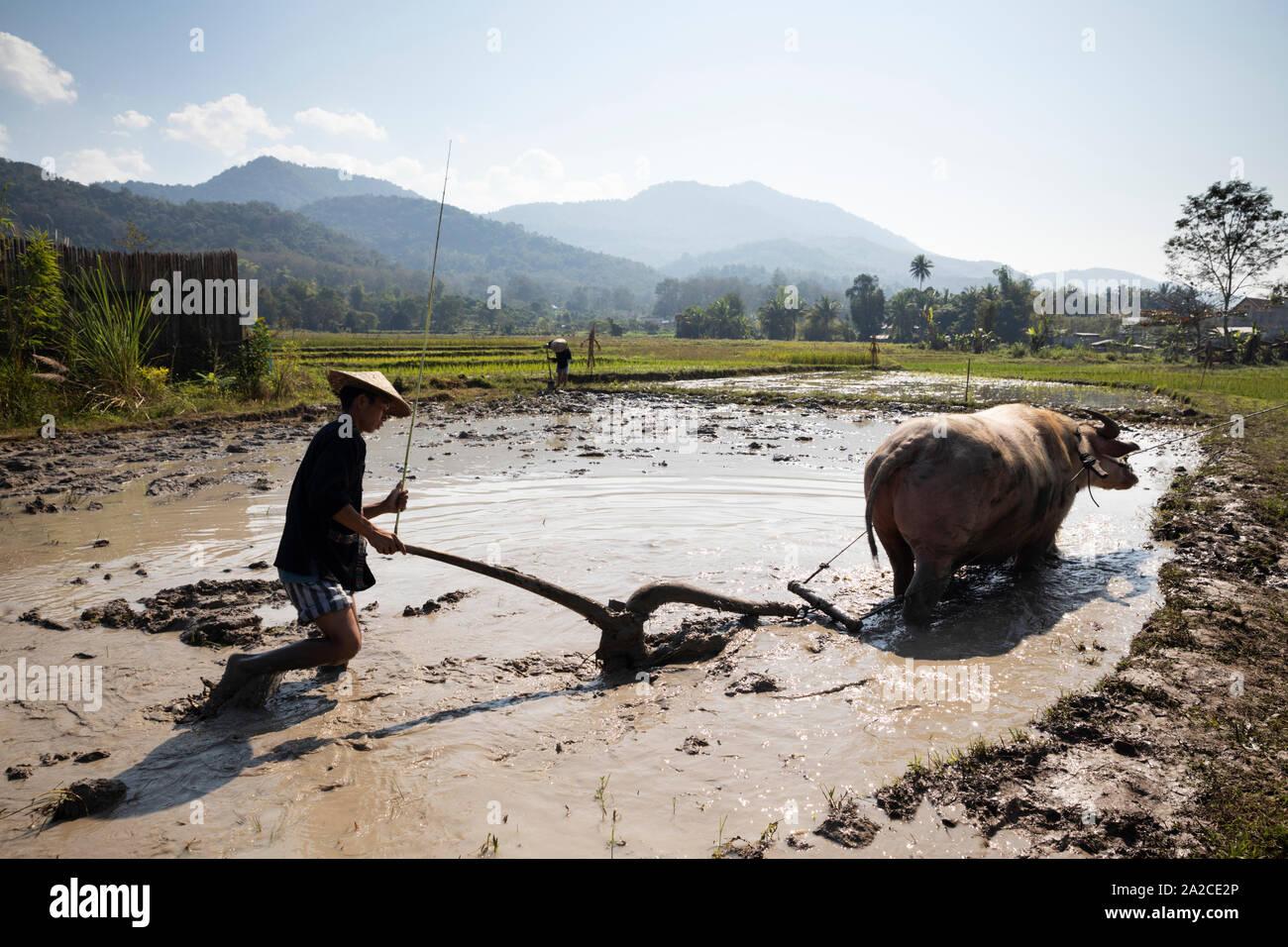 Preparación de la cáscara con Rudolph, el búfalo de agua en la Tierra Viva la granja, Luang Prabang, en la provincia de Luang Prabang, en el norte de Laos, Laos, Sudeste de Asia Foto de stock
