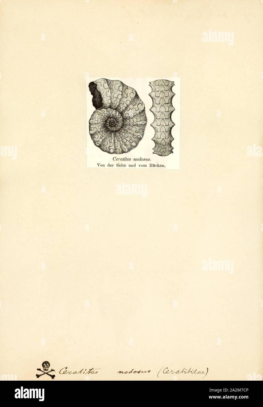 Ceratites nodosus, Imprimir Ceratites es un género extinto de ammonites de cefalópodos. Estos carnívoros nektonic vivió en los hábitats marinos en lo que ahora es Europa, Asia y América del Norte, durante el Triásico, desde Anisian Ladinian a la edad Foto de stock