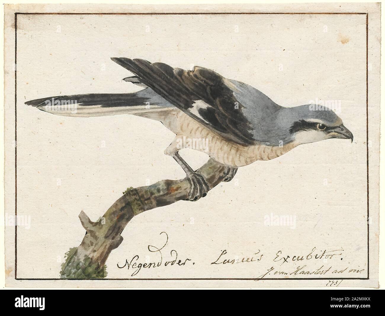 """Lanius excubitor, imprimir la gran actuación en """"The Shrike"""" gris (Lanius excubitor), conocido como el norte de actuación en """"The Shrike"""" en América del Norte, es un gran songbird especies en la actuación en """"The Shrike"""" (familia Laniidae). Se forma una subespecie con sus parientes, el sur parapatric gris ibérico actuación en """"The Shrike"""" (L. meridionalis), el chino sphenocerus gris actuación en """"The Shrike"""" (L.) y la caguama actuación en """"The Shrike"""" (L. ludovicianus). Machos y hembras son similares en plumaje gris nacarado, encima con un ojo negro-blanco y máscara debajo, 1753-1834. Foto de stock"""