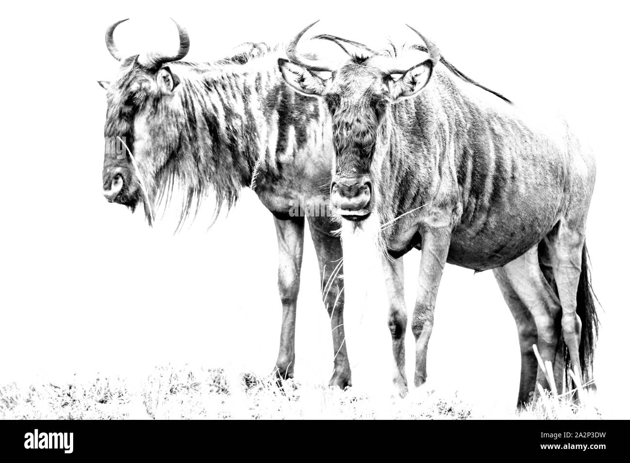 Clave alta Foto de ñus, Masai Mara, Kenya Foto de stock