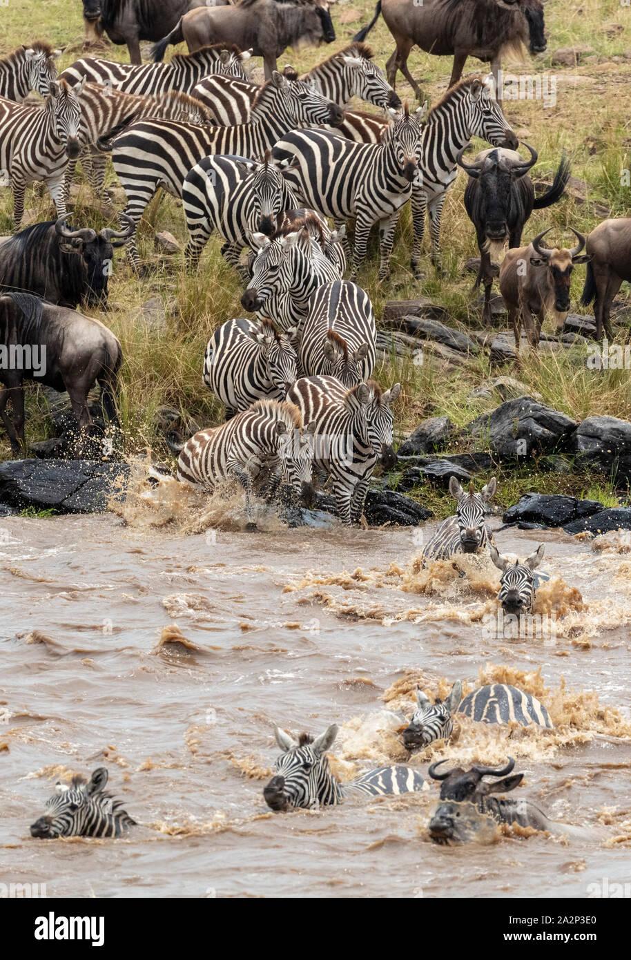 Las cebras y los ñus cruzando el río Mara durante la migración anual, el Masai Mara, Kenya Foto de stock
