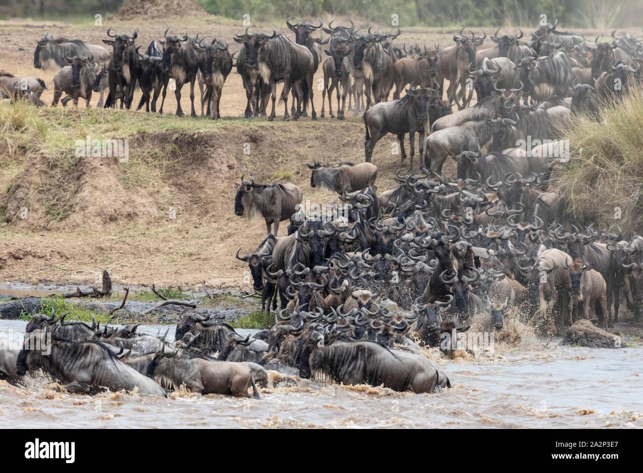 Manada de ñus cruzando el río Mara durante la migración anual, el Masai Mara, Kenya Foto de stock