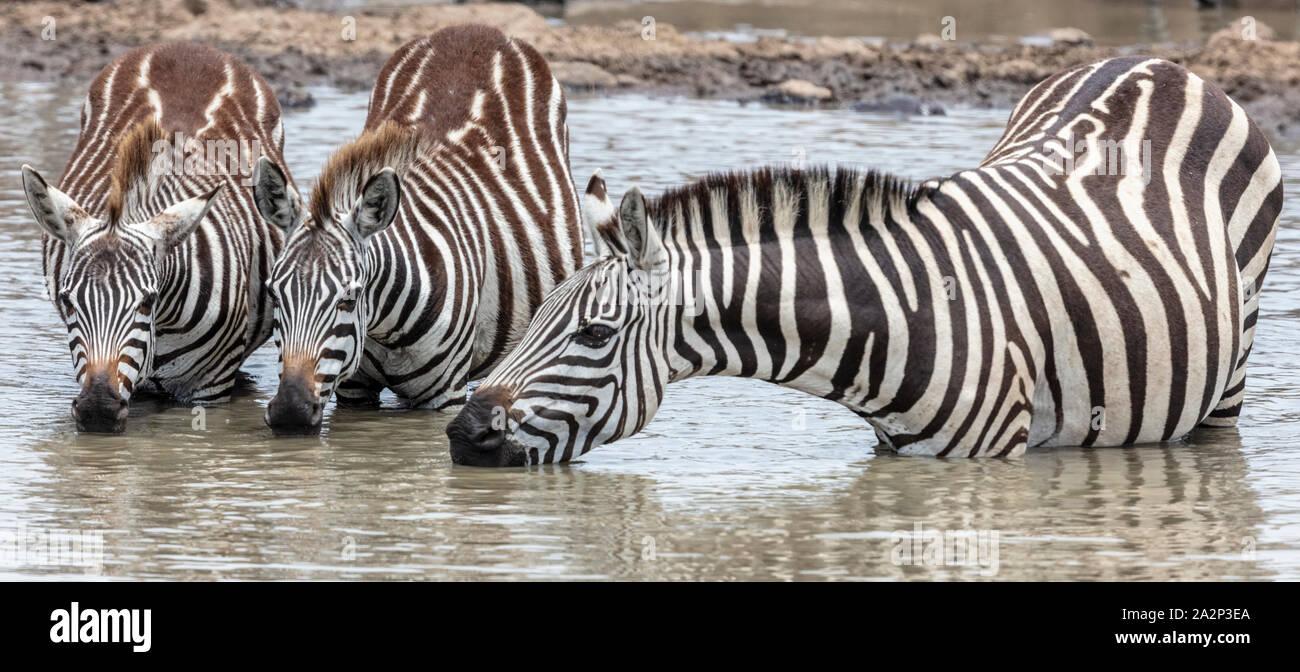 Tres cebras bebiendo, Masai Mara, Kenya Foto de stock