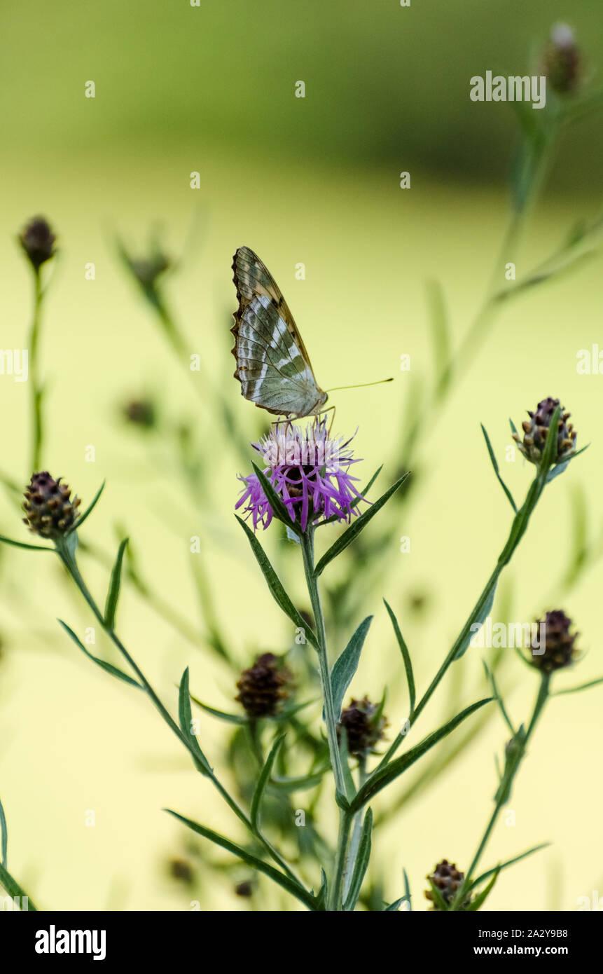 Mariposa en una planta durante el verano en Alemania Foto de stock