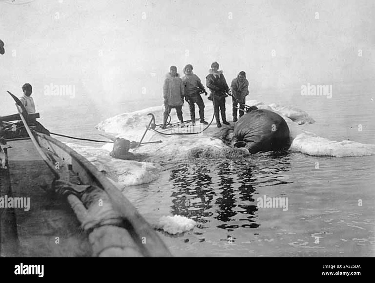 El hombre esquimal Preparación para remolcar la morsa animal con barco ubicación desconocida ca 1899 Foto de stock