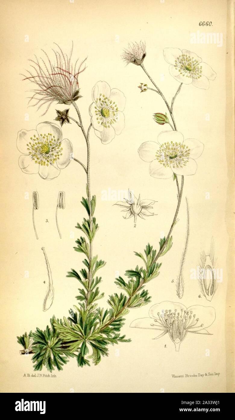 Fallugia paradoxa - Bot. Mag. 108 tab. 6660. Foto de stock