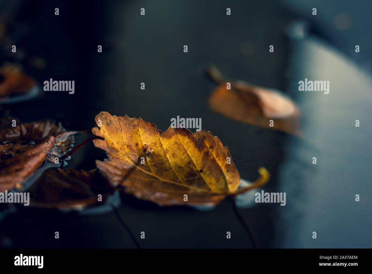 Un retrato de un color amarillo y marrón caído leaf, caído en un charco de agua durante el otoño. La hoja es accompagnied por otras hojas. Foto de stock
