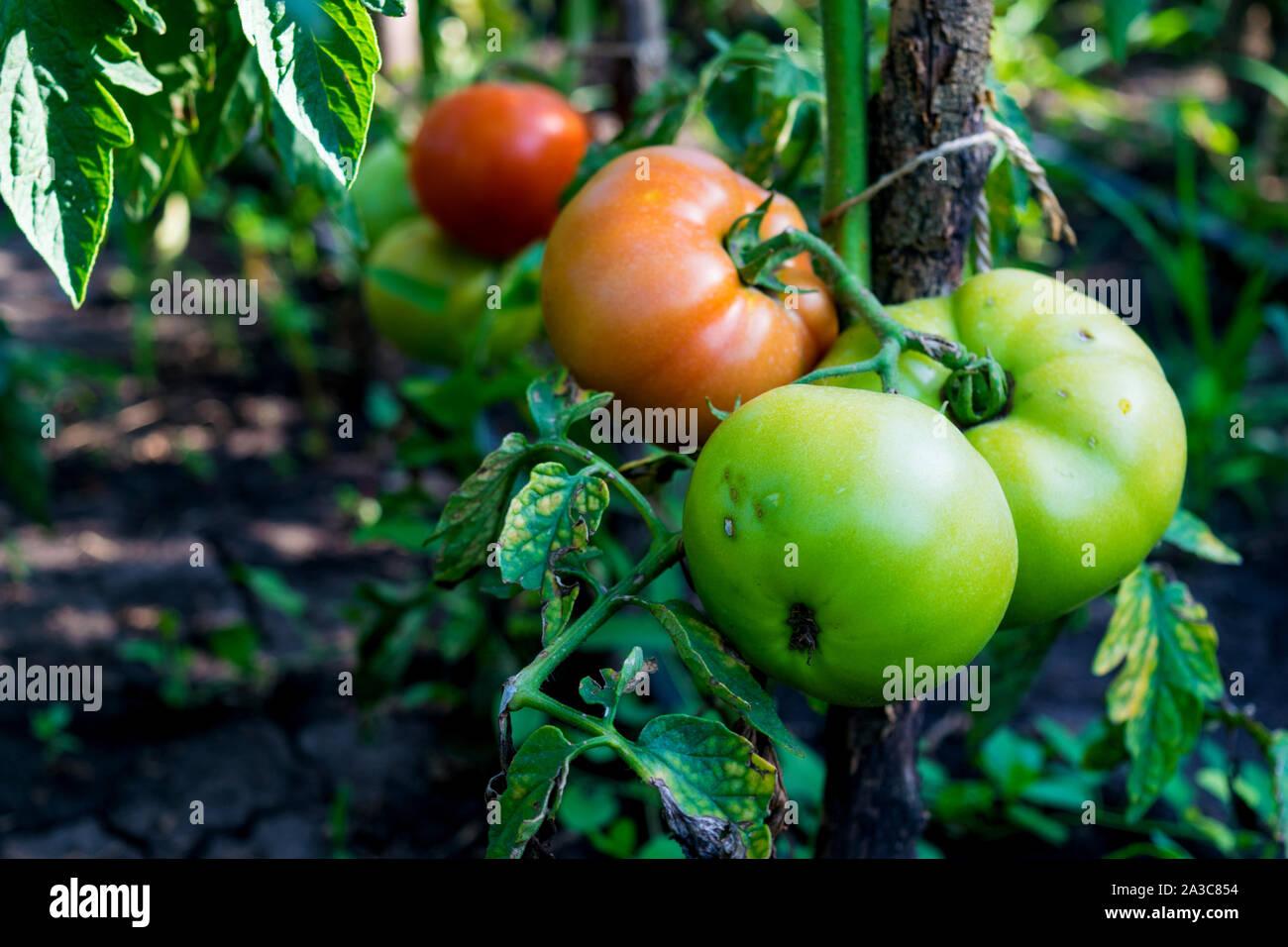 Rojo y verde verdes sin recoger tomates orgánicos comenzando a verse afectado por una enfermedad Foto de stock
