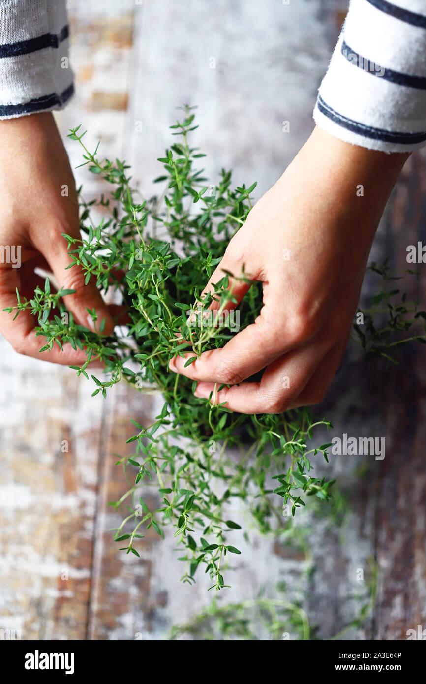 El enfoque selectivo. Chica manos sujetan el tomillo creciendo en una maceta. Hierbas picantes son cultivados en casa. Foto de stock