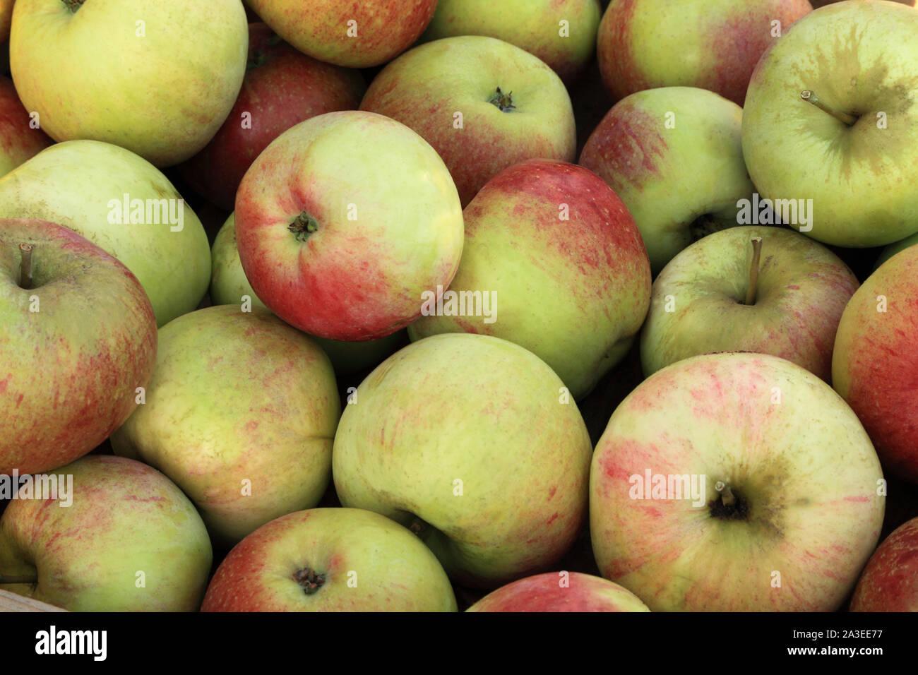 Apple 'Peasgood's Nonsuch, manzanas de cocina, cocinas, Malus domestica Foto de stock