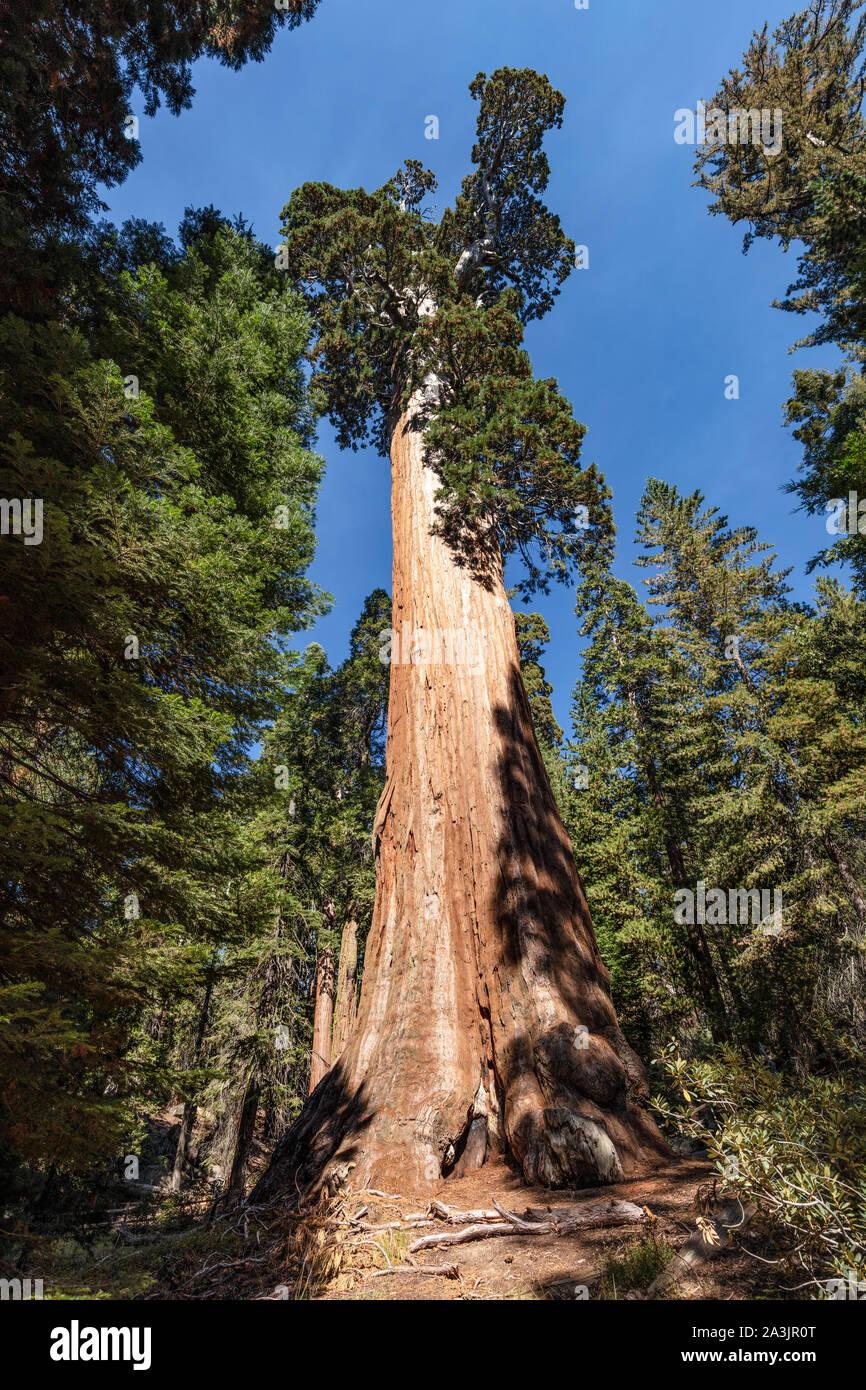 Una vista de árbol general de concesión en el Parque Nacional Kings Canyon, California. Es el segundo árbol y organismo vivo sobre la tierra. Foto de stock